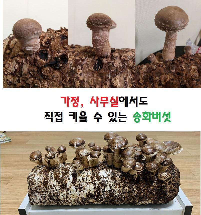송화버섯이란_1.jpg